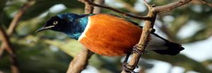 Bird Watching Safaris in Uganda-Birding in Uganda has 1007 bird species to offer!