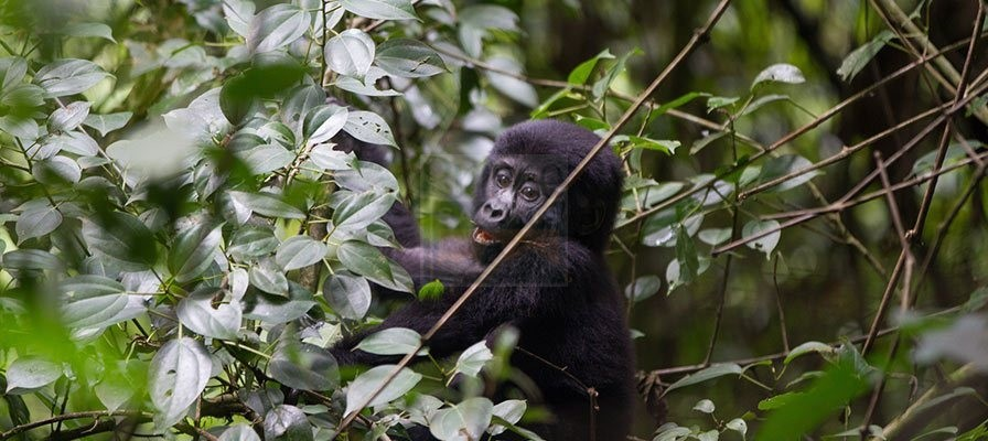 10 Days Uganda Gorilla Trekking Wildlife & Chimpanzee Tracking Safari Tour