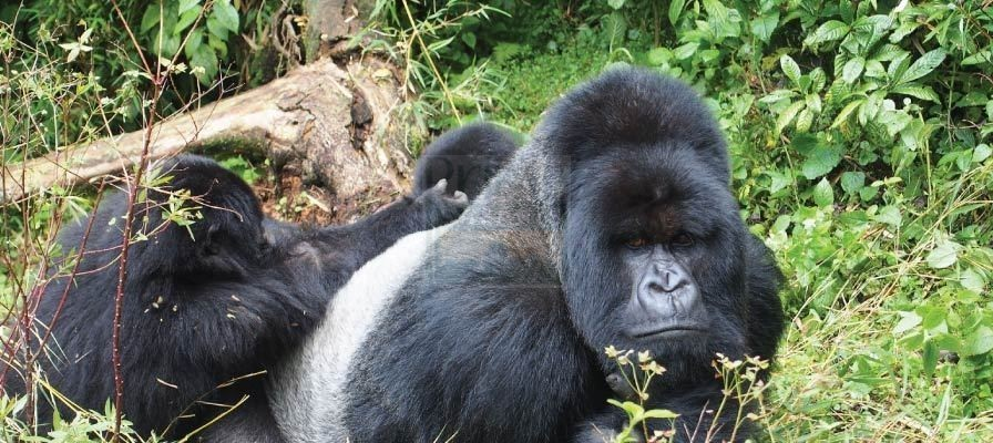 9 Days Gorilla Trekking Safari Uganda Chimpanzee Trekking & Wildlife Tour