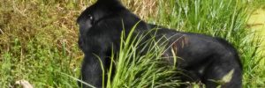gorilla-trekking-in-bwindi-on-a-rwanda-safari