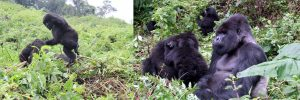 9 Days Gorilla Trekking Safari Rwanda Wildlife & Chimpanzee Tracking Safaris Tour