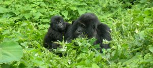 mother-and-daughter-bwindi-gorillas