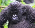 mountain-gorilla-uganda-safaris