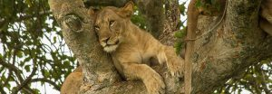 tree-climbing-lion-uganda-safaris