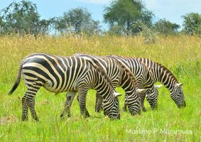 zebras-grazing-in-kidepo
