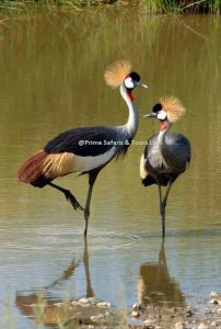 The Grey Crested Crane
