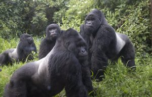 4 Days Gorilla Trekking in Bwindi and Queen Elizabeth National Parks