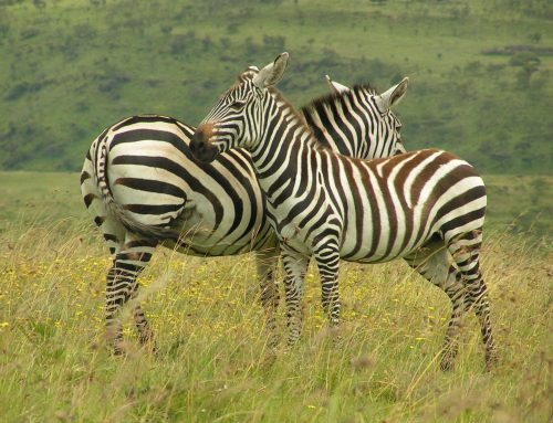 8 Days Uganda gorilla safari Mgahinga National Park & wildlife safari tour/ 8 Days Uganda wildlife safari