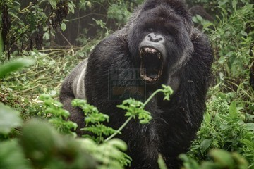 10 Days Congo gorilla safari tour, chimpanzee trekking safari