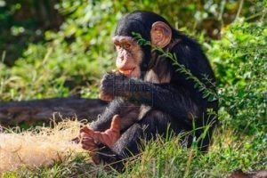 8 Days Gorilla Trekking Safari Tour Rwanda Wildlife & Chimpanzee Tracking Safaris