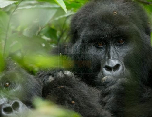 3 Days Mgahinga Gorilla Safari Uganda Tour / 3 Days Uganda Gorilla Safari to Mgahinga Gorilla Park