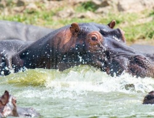 Enjoy the most adventurous boat cruise in the hippo world!  – Uganda safari News