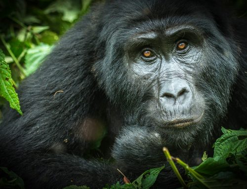 A Sad Day for Oruzogo Gorilla Family Due to the Death of One of Its Silverbacks Named Busungu- Uganda Safari News