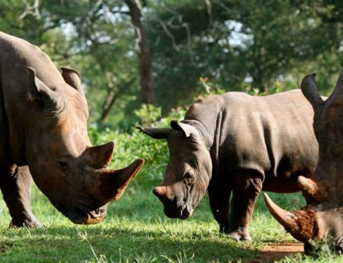 Complete your Big 5 Wildlife Safari Uganda with a stop at the Ziwa Rhino Sanctuary – Uganda safari News
