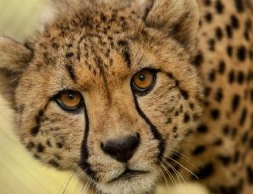 A Cheetah; Kidepo National Park's pride – Uganda safari News