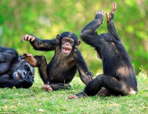2 Days Kibale Chimpanzee Safari / 2 Days Uganda Chimpanzee Safari in Kibale National Park- Uganda Safari News