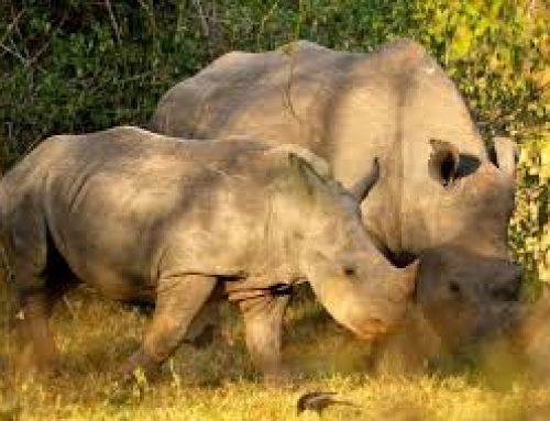 President Museveni Disbands the Rhino Fund Uganda- Uganda Safari News