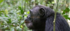 4 Days Chimpanzee Trekking Safari Uganda Wildlife Safaris Tour