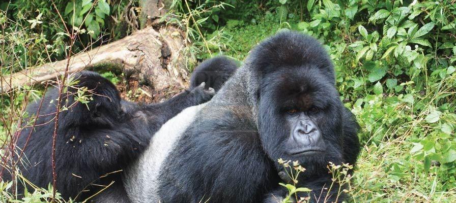 9 Days Gorilla Trekking Safari Uganda Chimpanzee Trekking & Wildlife Tour