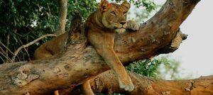 16 Days Classic Uganda Wildlife Safari Culture & Gorilla trekking Uganda Safaris