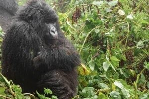 3 days Bwindi Gorilla Safari Tour