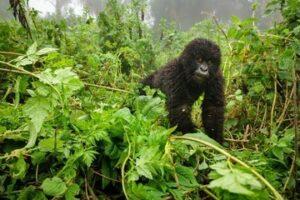 6 Days Combined Uganda Wildlife Safari Tour Rwanda Gorilla Trekking Safaris