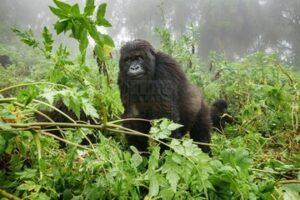 10 Days Combined Uganda Safari Tour & Rwanda Gorilla Trek Safari With Wildlife Safari
