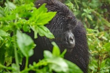5 Days Combined Rwanda Uganda Gorilla Trekking Safari Tour
