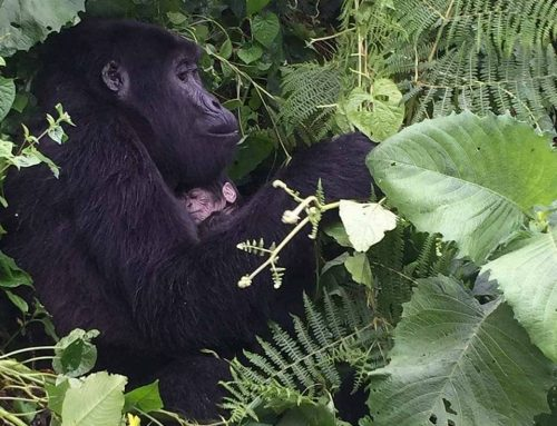 A New Baby Gorilla Is Born In Rushegura Gorilla Family of Bwindi Impenetrable National Park to add enthusiasm to gorilla trekking fans- Uganda Safari News